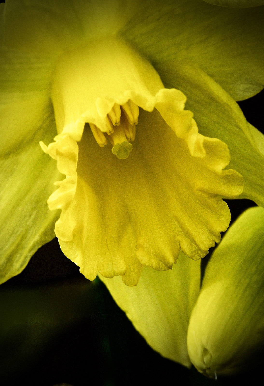 early-daffodil-by-richard