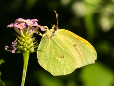 clouded-yellow-by-bob