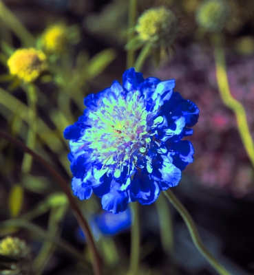 cornflower-by-paul-waite