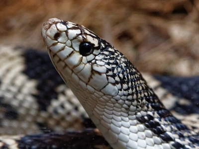 northern-pine-snake-by-alan-goldby