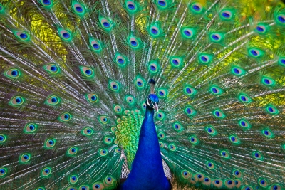 peacock-by-alan-goldby