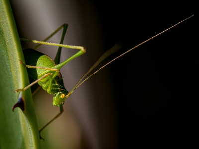 speckled-bush-cricket-by-chrisfrost