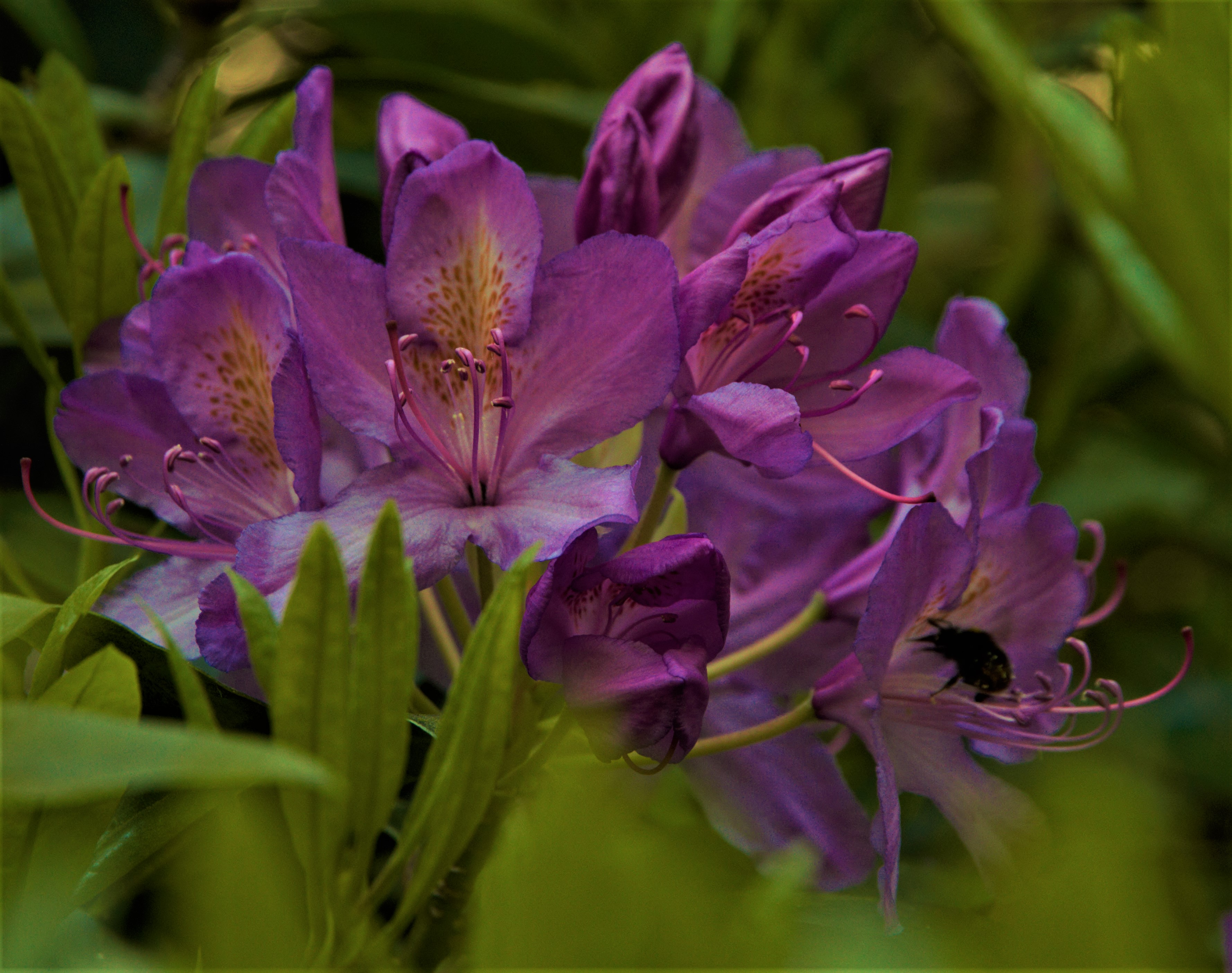 rhododendron-by-paul-waite