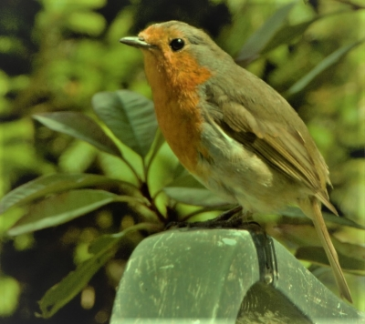 our-tame-robin-by-paul-waite