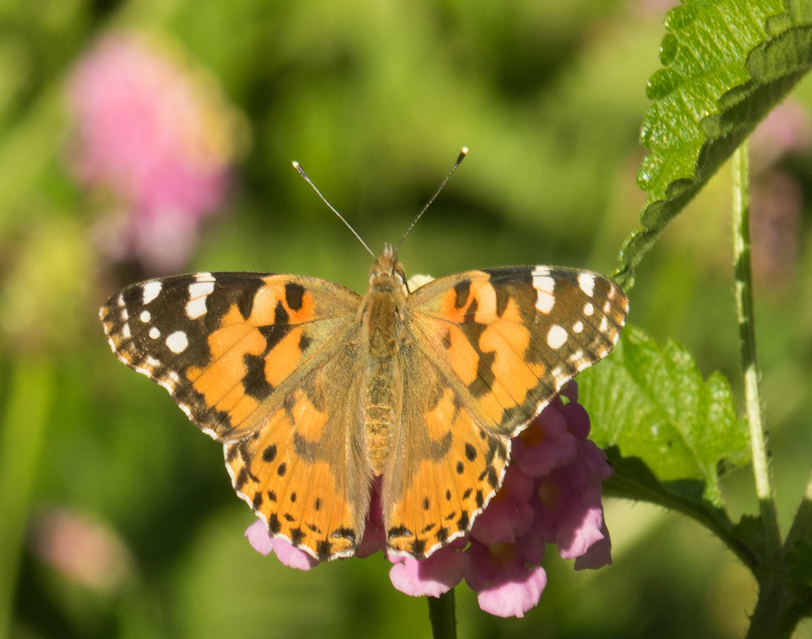 painted-lady-by-bob