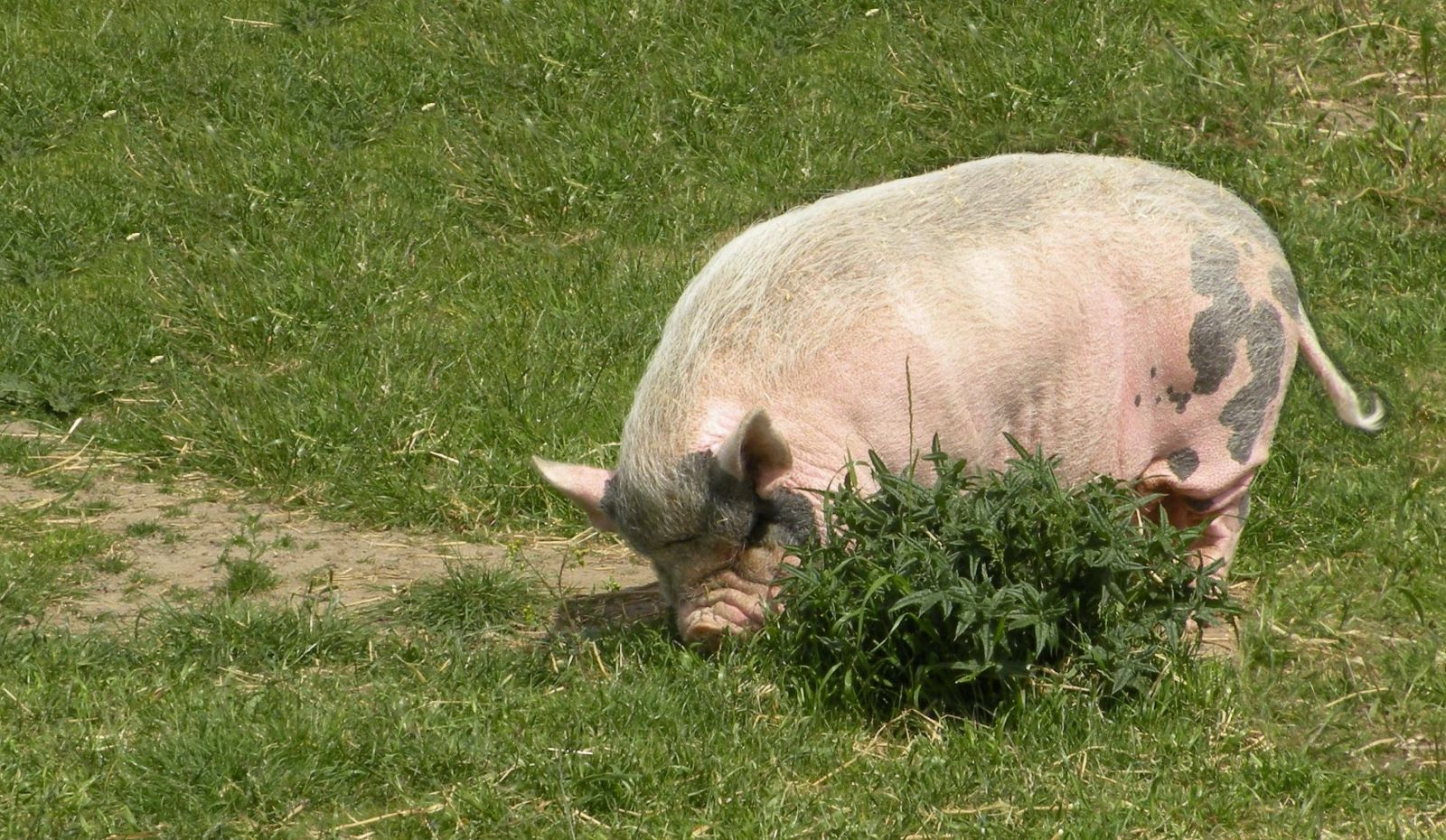 pot-bellied-pig-by-nick