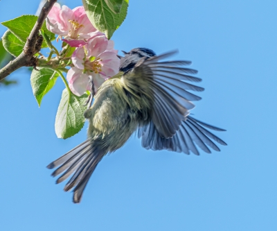bluetit-on-apple-blossom-by-chris-frost