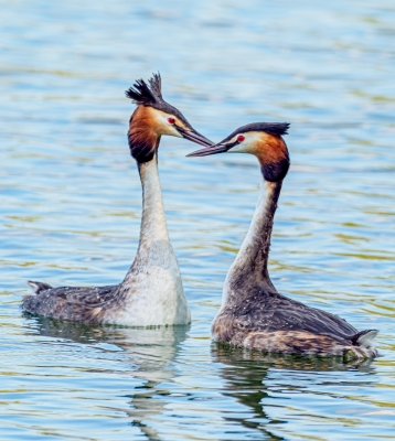 greeting-grebes-by-chris-frost