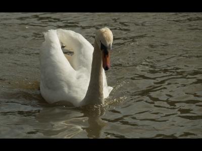 swan-by-bob.
