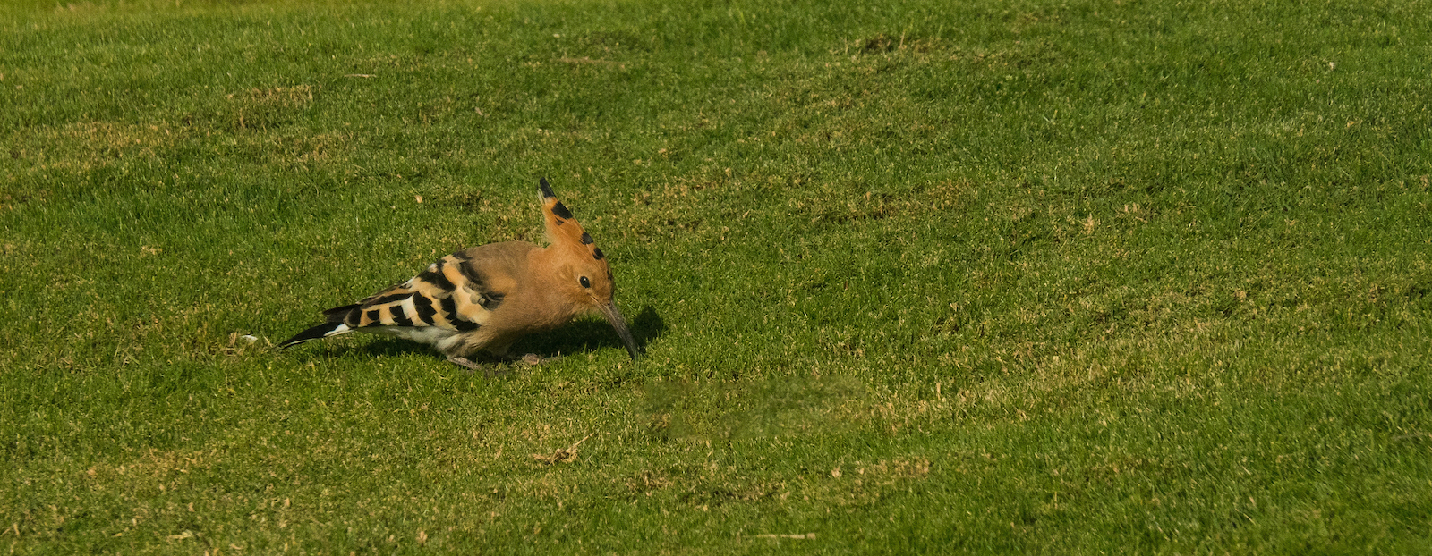 hoopoe-by-bob