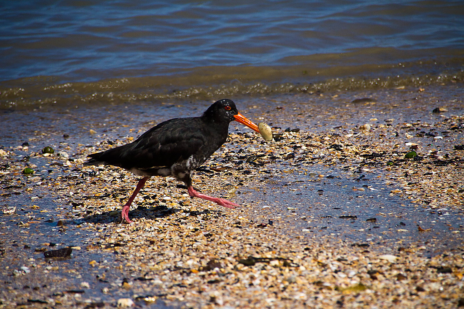oyster-catcher-with-clam-by-alan-goldby