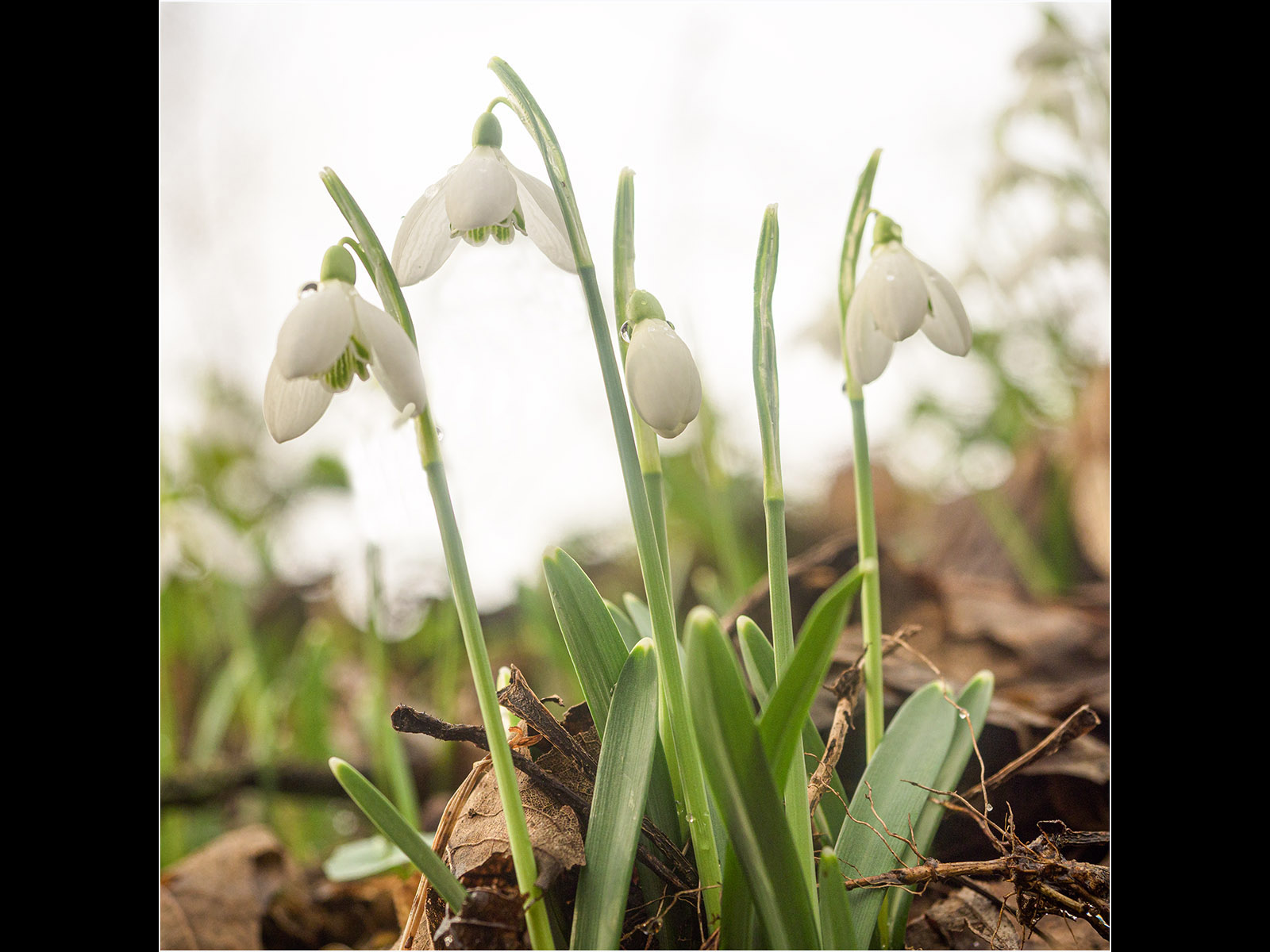 snowdrops-by-roy-backhouse
