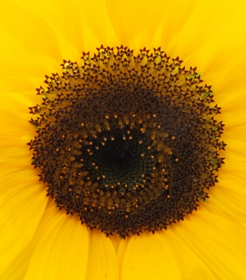 PRINT - eye-of-the-sunflower-by-janet
