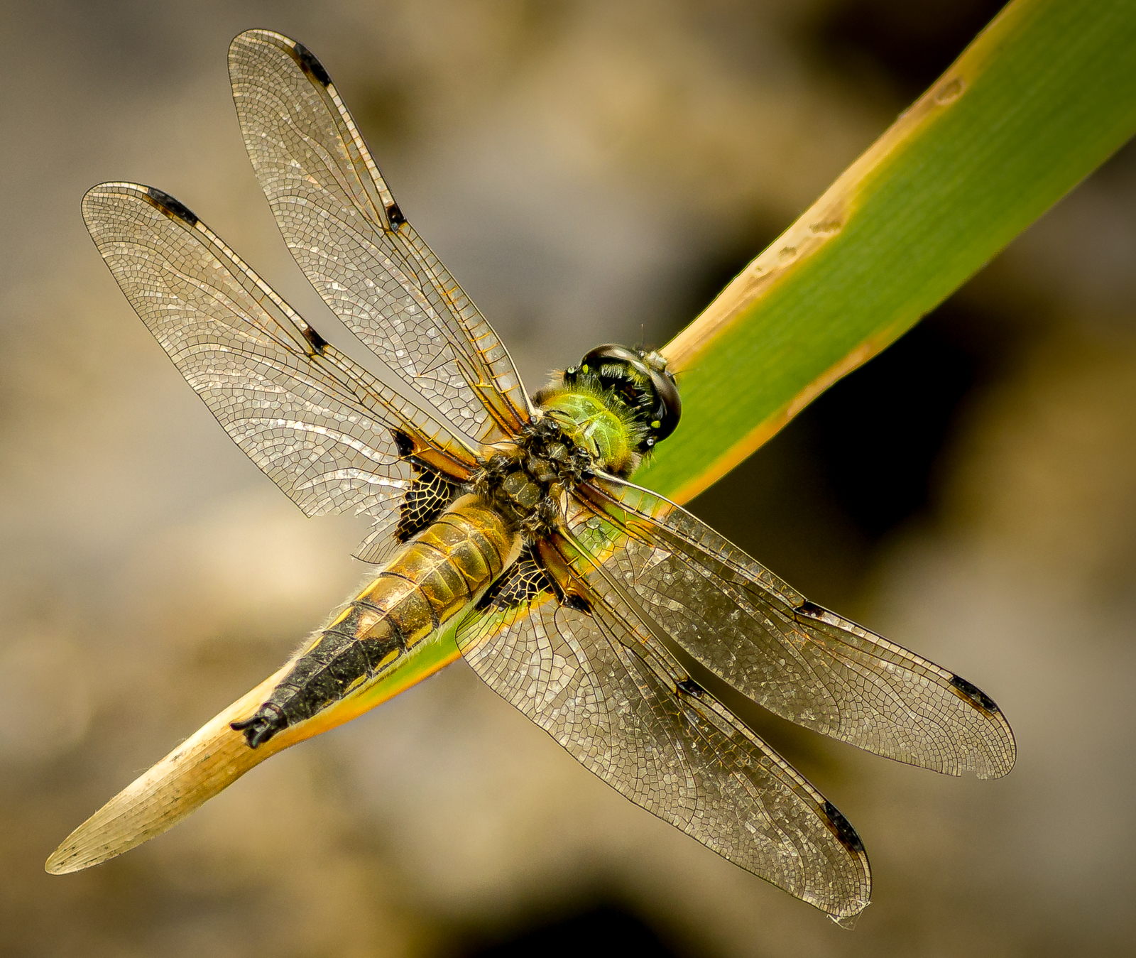 3rd - four-spotted-chaser-by-chris-frost