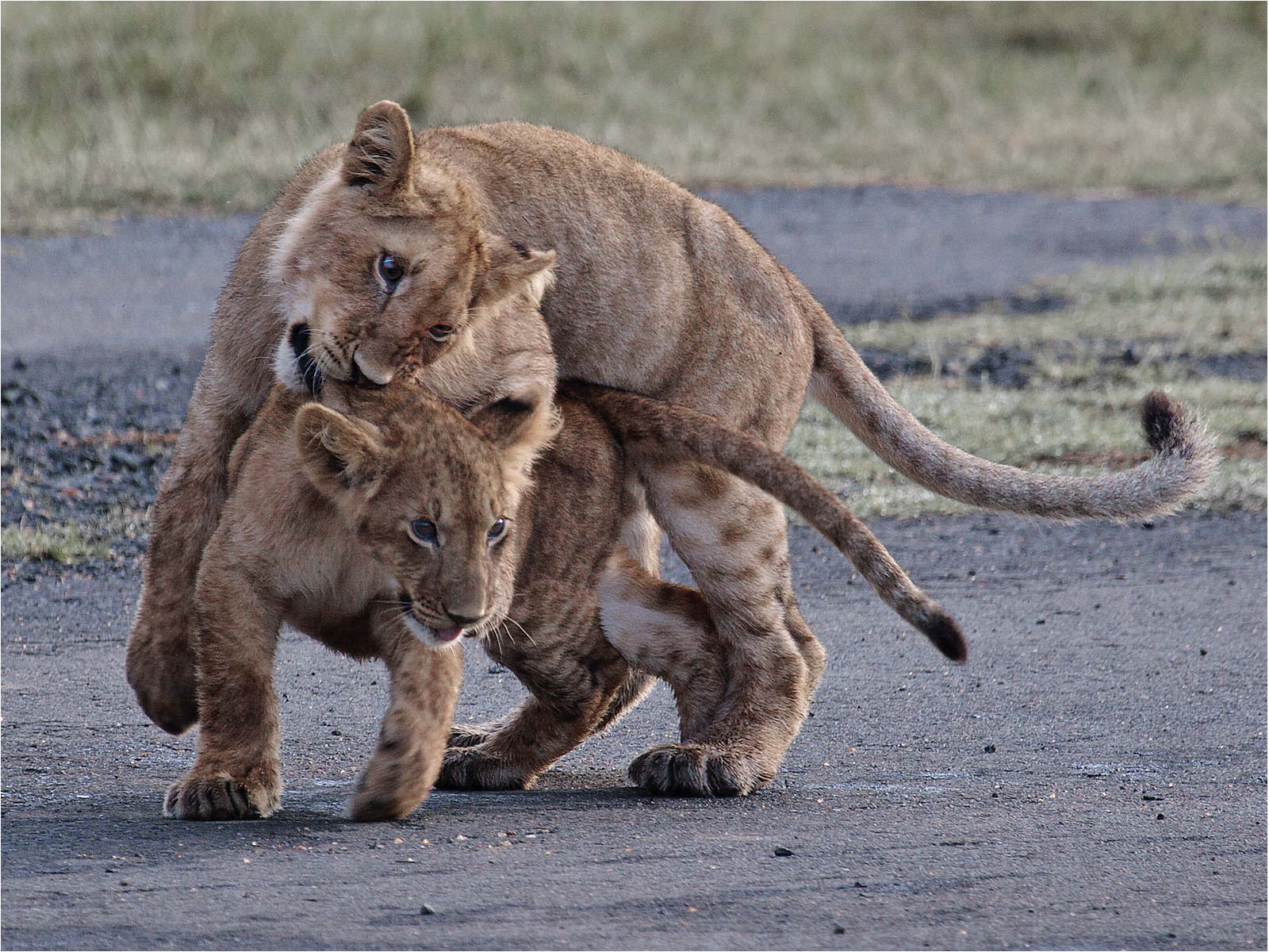lion-cubs-playing-on-the-airstrip-by-alan-goldby