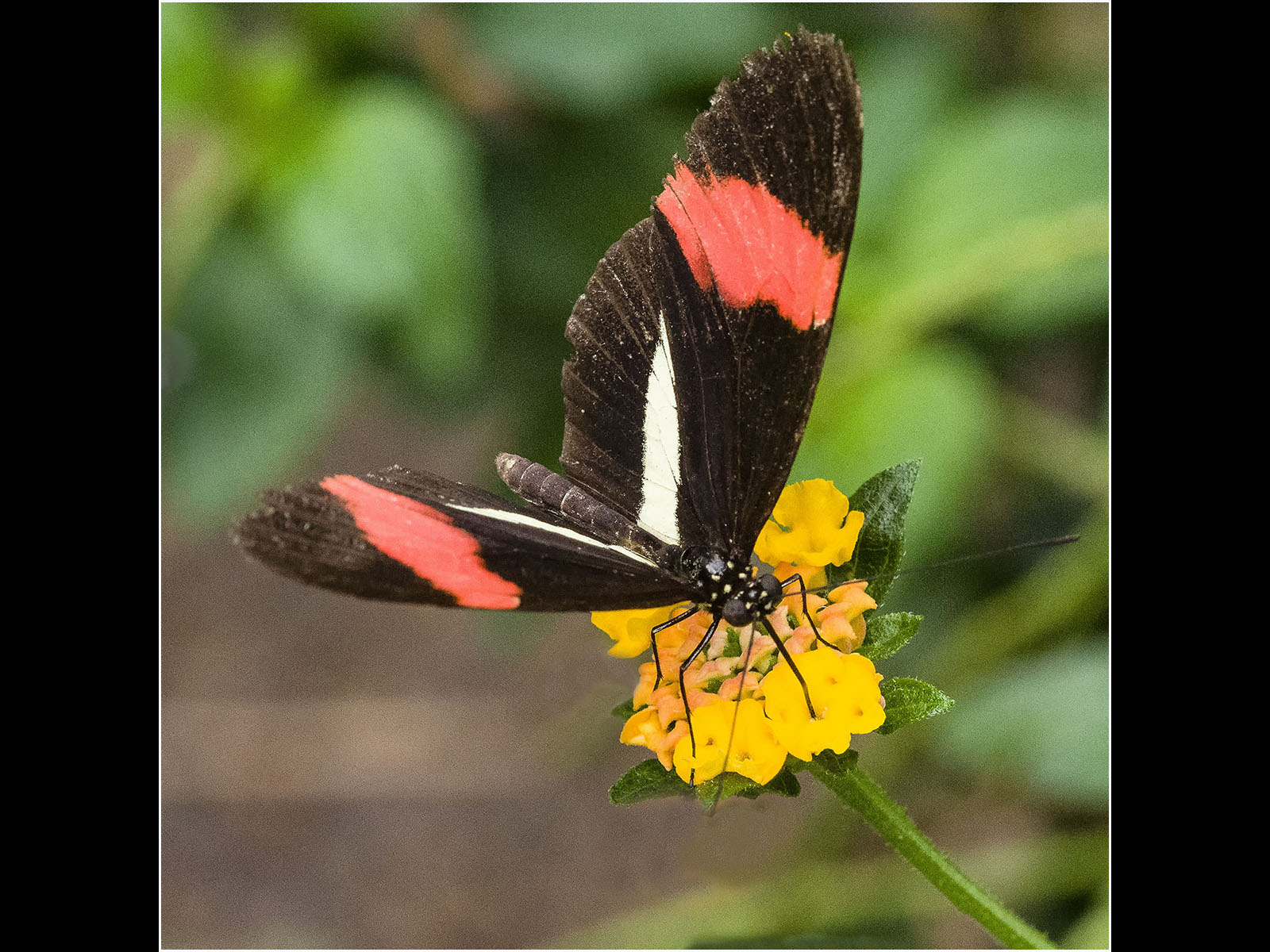 postman-butterfly-by-roy-backhouse