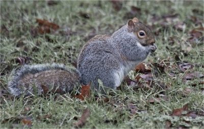 grey-squirrel-by-alan-goldby