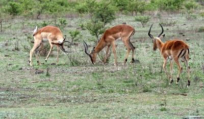 safari-attack-by-richad