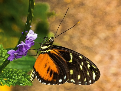 tiger-longwing-by-roy-backhouse