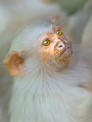 young-marmoset-by-chris-frost