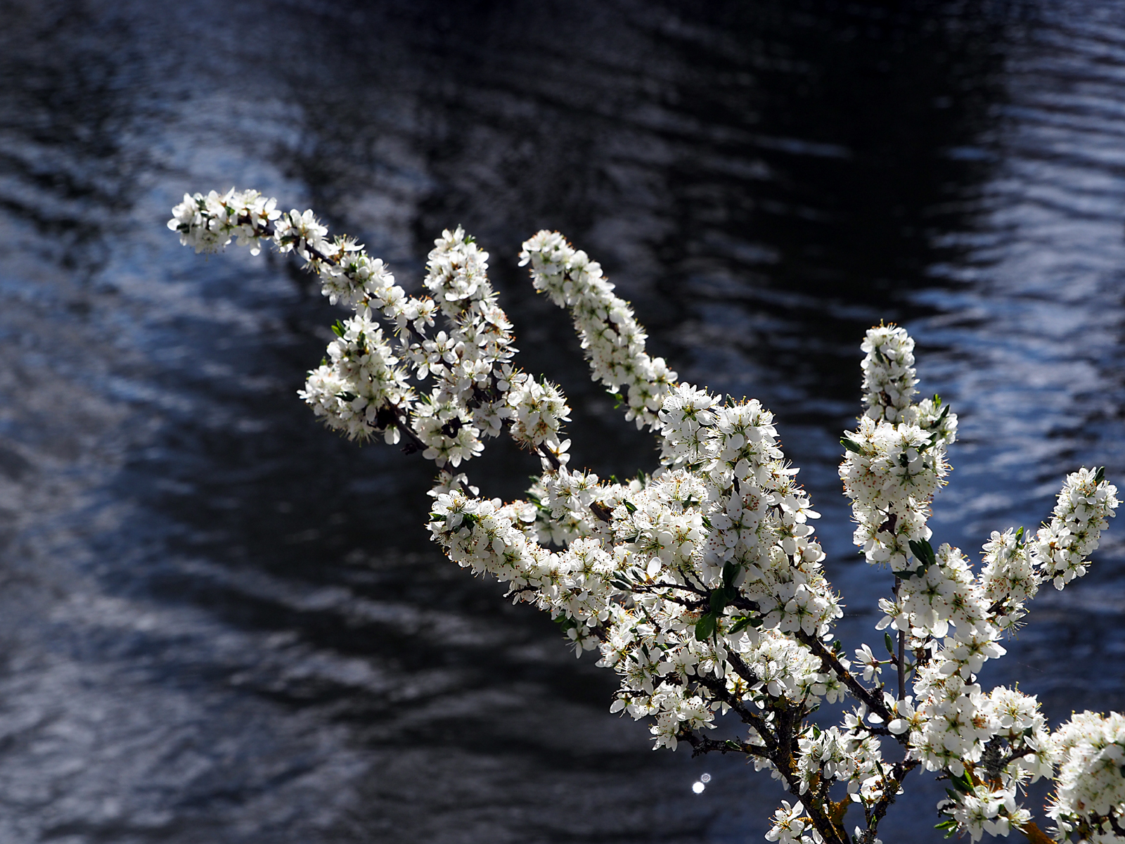 blackthorn-and-the-river-by-laurie