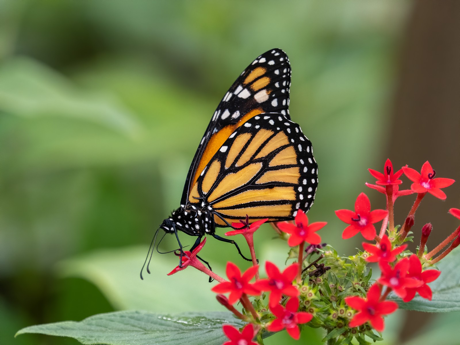 monarch-butterfly-by-peter-darby