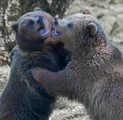 european-bears-in-motion-by-alan-goldby