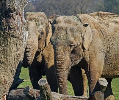 indian-elephants-by-alan-goldby