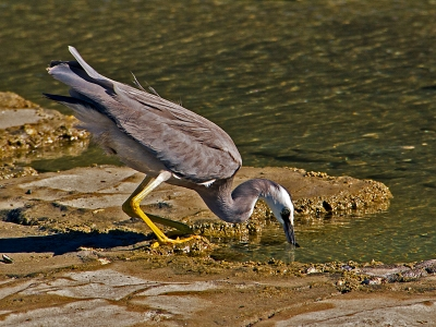 white-faced-heron-by-alan-goldby